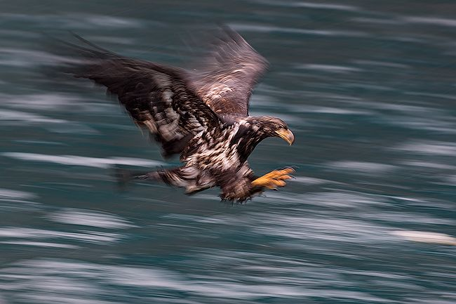 Juvenile-Bald-eagles-blur-catching-fish_E7T9352-Kachemak-Bay-Homer-AK.jpg