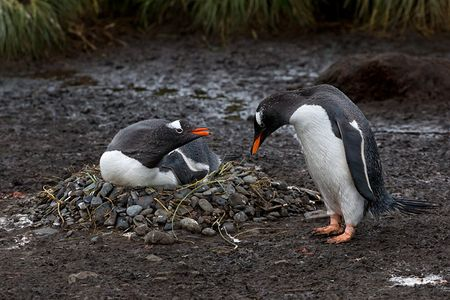 Gentoo-Penguins-on-the-nest_B8R2712-King-Haakon-Bay-South-Georgia-Islands.jpg