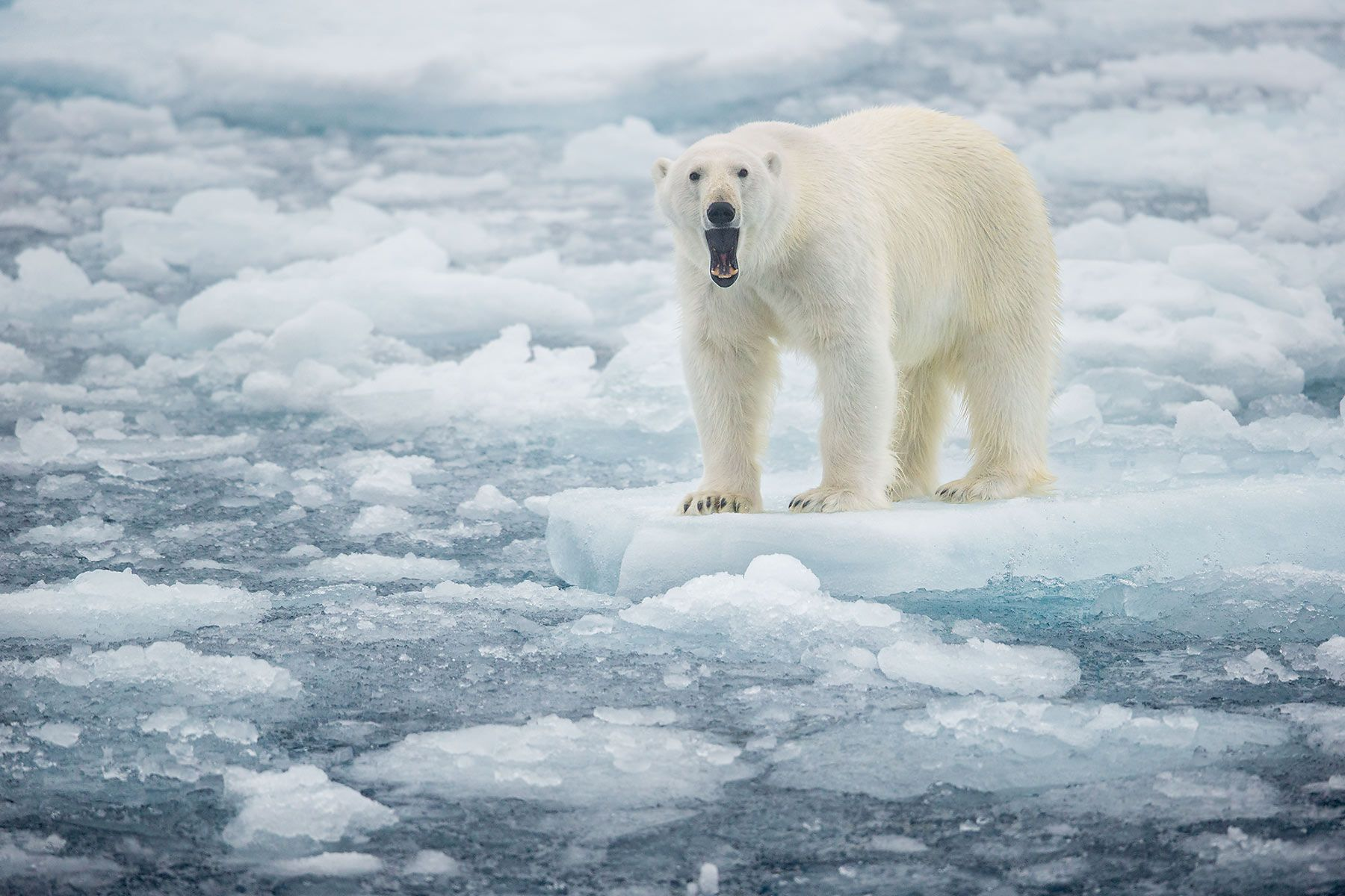 Polar-bear-on-sea-ice-yawning_B8R4821-Sea-ice-at-81-degree-North,-Svalbard,-Arctic.jpg