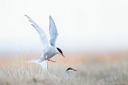 Arctic-tern-landing-on-nest_A3I1242-Arnarstapi,-West-Iceland.JPG