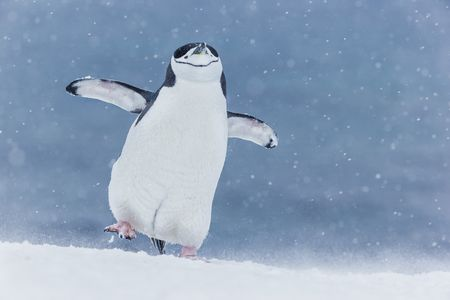 Chinstrap-penguin-walking-with-foot-up_E7T5853-Half-Moon-Island,-South-Shetland-Islands,-Antarctica.JPG