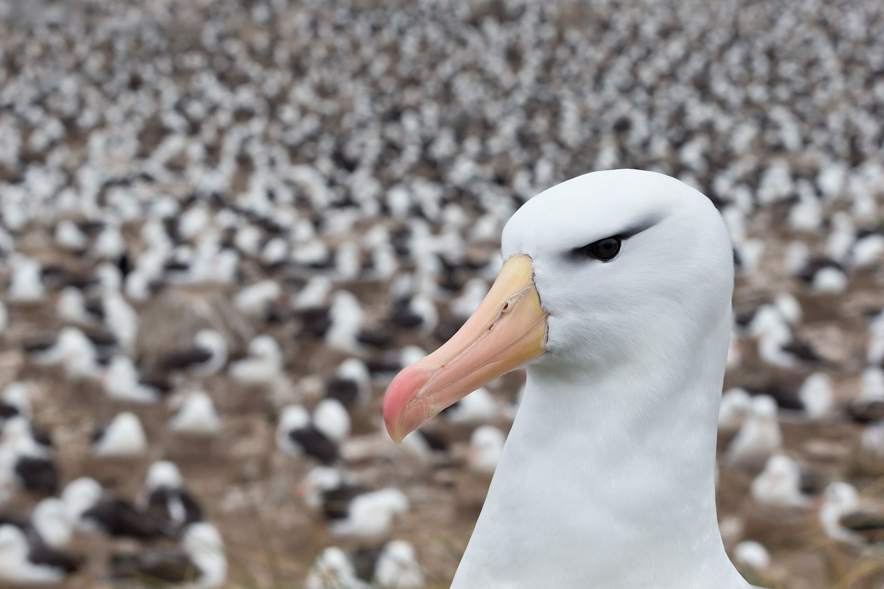 Black-bowed-Albatross-with-colony-in-background_B8R5809-Steeple-Jason,-Falkland-Islands.jpg