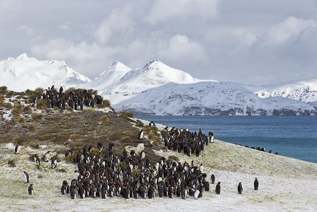 King-Penguin-colony-up-on-the-hill_E7T2163-Salisbury-Plain-South-Georgia-Islands.jpg