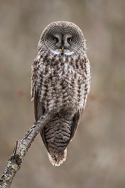 Great-Gray-Owl-on-branch_B8R8563-Kachemak-Bay-Homer-AK.jpg