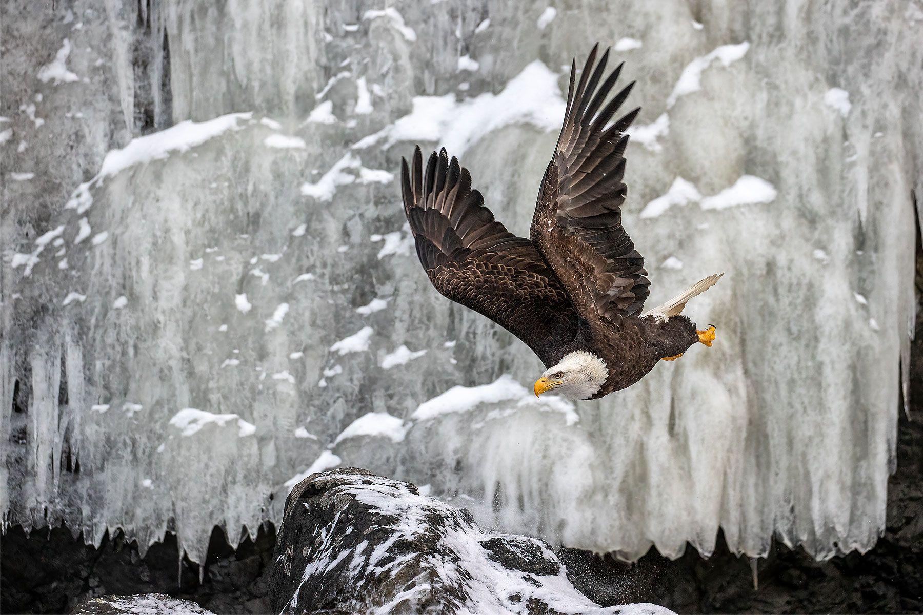 Bald-eagle-flying-by-frozen-ice-waterfall_74I0370-Kachemak-Bay,-Alaska,-USA.jpg