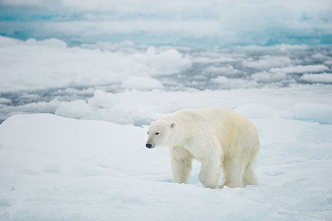 Polar-bear-walking-in-sea-ice-habitat_B8R4866-Sea-ice-at-81-degree-North-Svalbard-Arctic.jpg
