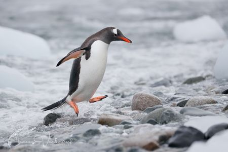 gentoo-penguin-jumping-out-of-water_a3i9876-cuverville-island-antarctica.jpg