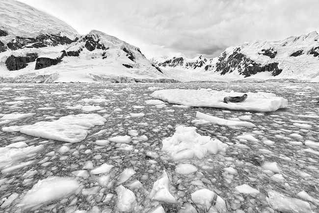 Leopard-Seal-on-ice-shelf-in-brash-ice-wide-angle_BW_S6A9358-Paradise-Bay-Antarctica.jpg