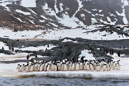 Adelie-Penguins-standing-near-water-edge-with-colony-in-bkgd_E7T5777-Hope-Bay-Antarctica.jpg