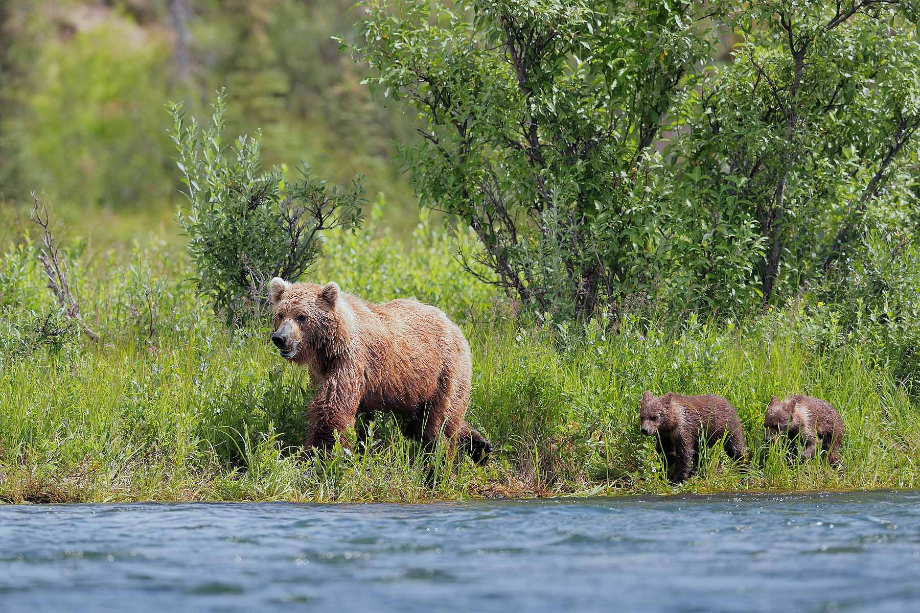 Coastal-brown-bear-sow-and-cubs-waling-along-the-river_A3I7164-Alagnak-River,-Katmai-National-Park-&-Preserve,-AK,-USA.jpg