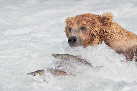 Coastal-brown-bear-with-salmon-swimming-by_A3I8735-Brooks-Falls,-Katmai-National-Park-&-Preserve,-AK,-USA.JPG