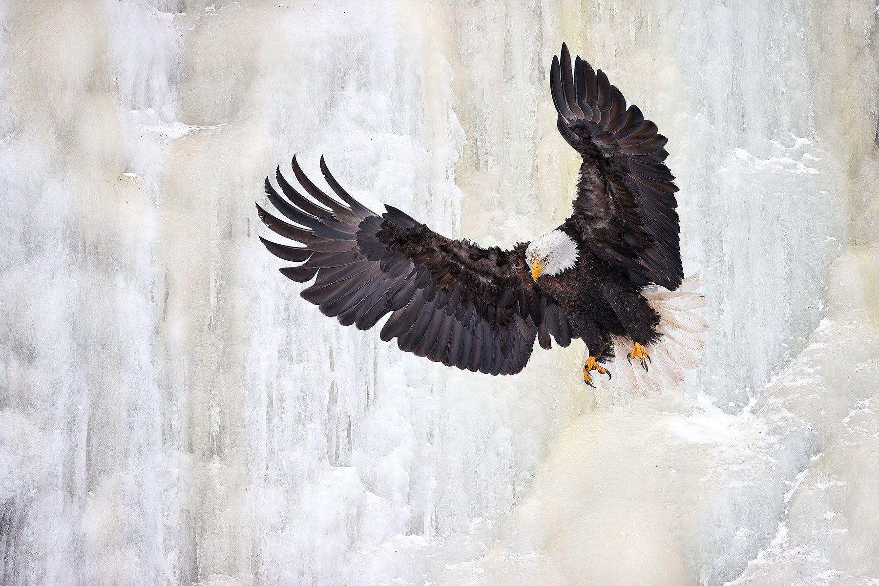 Bald-eagle-dropping-down-ice-waterfall_74I1031-Kachemak-Bay,-Alaska,-USA.jpg