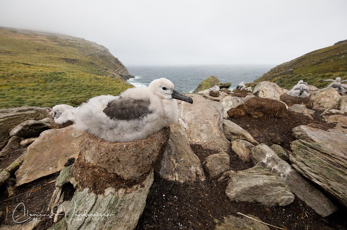 black-browed-albatross-chick-on-the-nest_83a3273-west-point-island-falklands.jpg