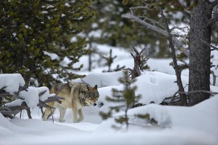 Wolf cruising through the pine trees III_B8R6308-Yellowstone National Park, WY, USA.jpg