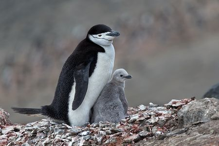 Chinstrap-Penguin-on-nest-with-little-chick_E7T4223-Bailey-Head-Deception-Island-Antarctica.jpg