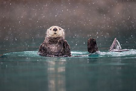 Sea-otter-in-blue-green-water-with-snow_B8R9450-Kachemak-Bay-Homer-AK.jpg