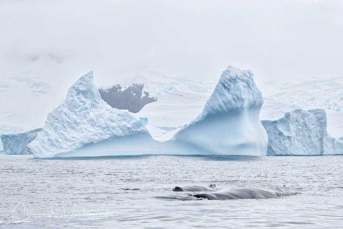 humpback-whales-cruising_a3i7940-cierva-cove-antarctica.jpg