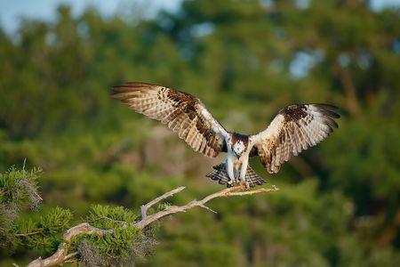 osprey-landing-on-branch_e7t1153-lake-blue-cypress-fl-usa.jpg