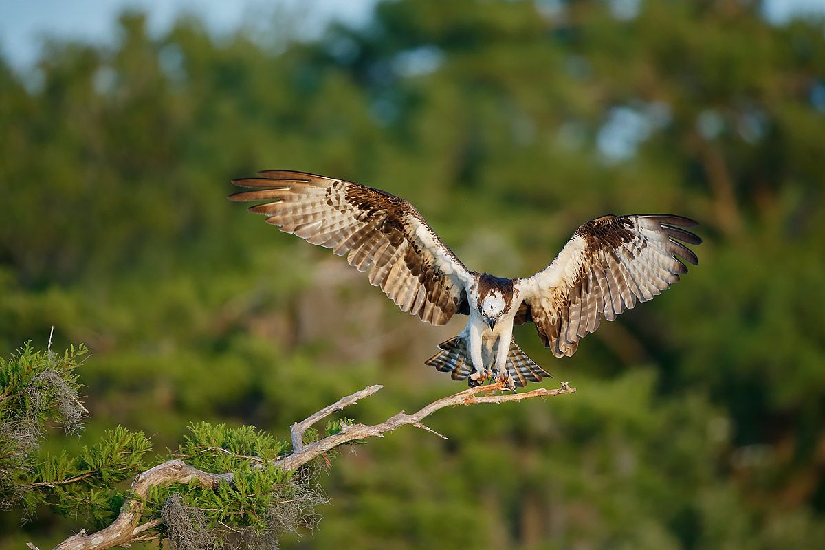 osprey-landing-on-branch_e7t1153-lake-blue-cypress-fl-usa.jpg