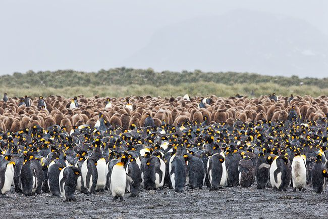 King-Penguin-colony-layered-against-grass-hill_B8R3756-Salisbury-Plain-South-Georgia-Islands.jpg