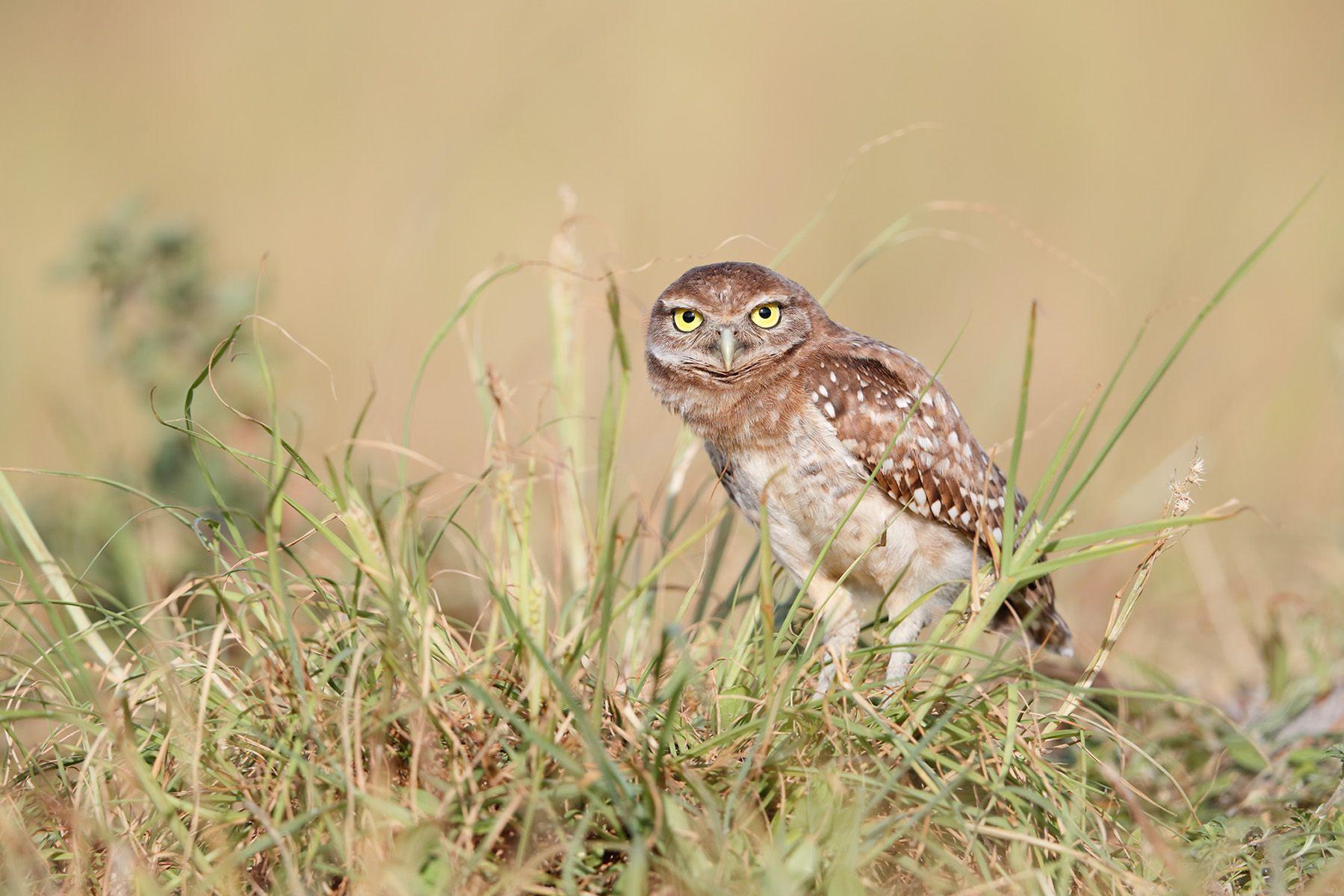 Burrowing owl looking curious_A3I0577-Boca Raton Airport, FL, USA.jpg