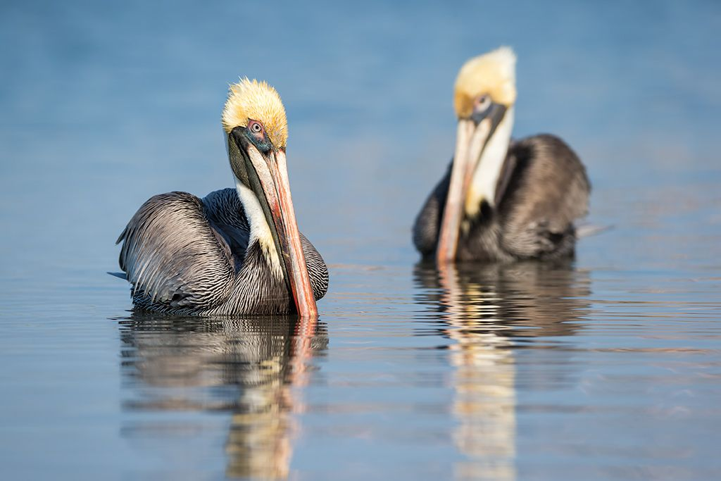 Brown-pelican-floating-juxtaposition_E7T4604-Estero-Lagoon-Fort-Myers-Beach-USA.jpg