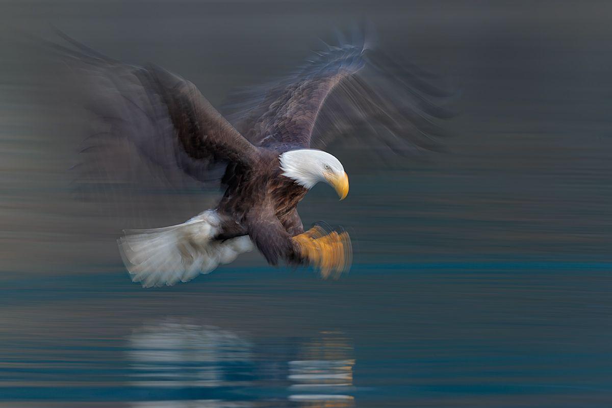 bald-eagle-claws-forward-blur_e7t9371-kachemak-bay-homer-alaska-usa.jpg