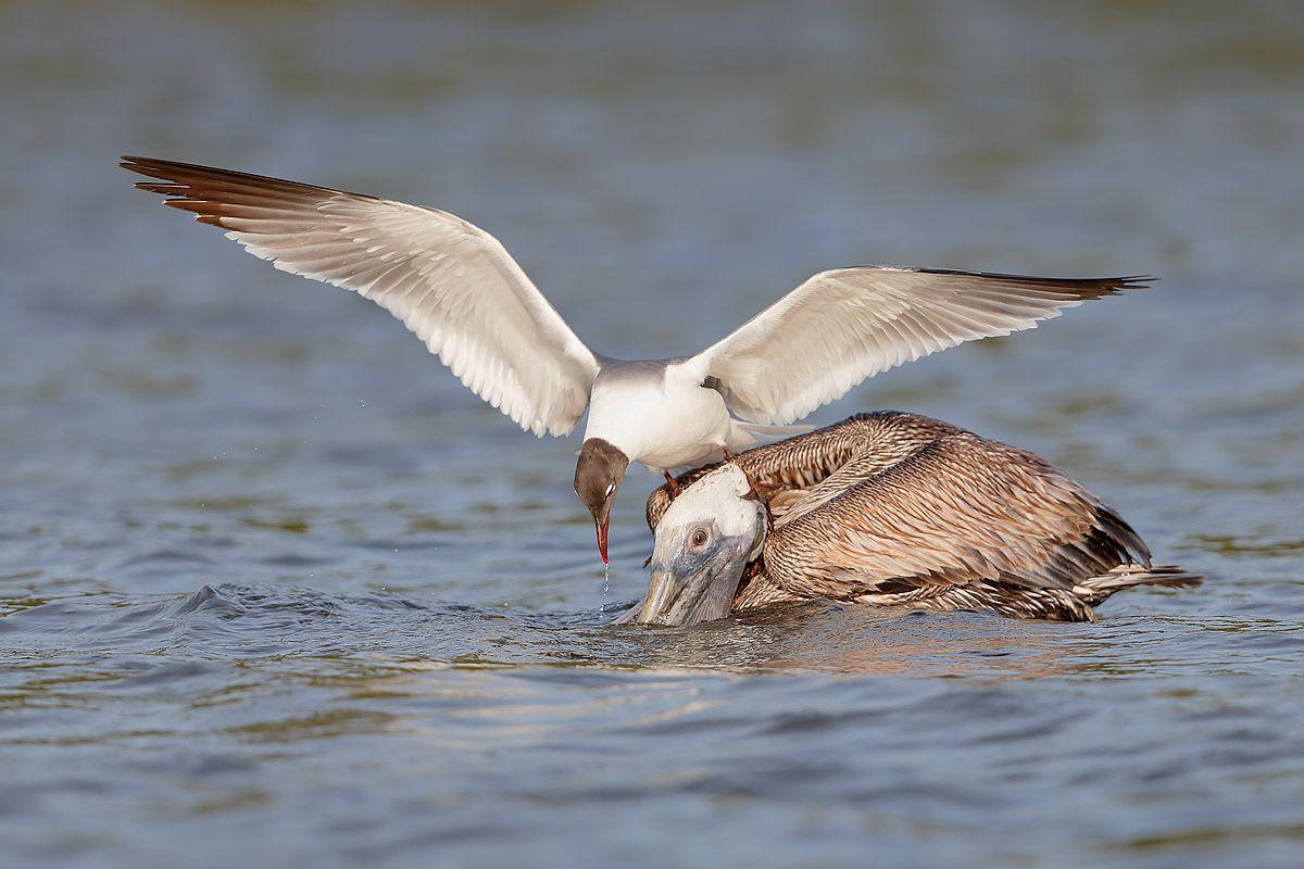 laughing-gull-feeding-with-brown-pelican_b8r9641-alafia-banks-gibsonton-fl-usa1.jpg