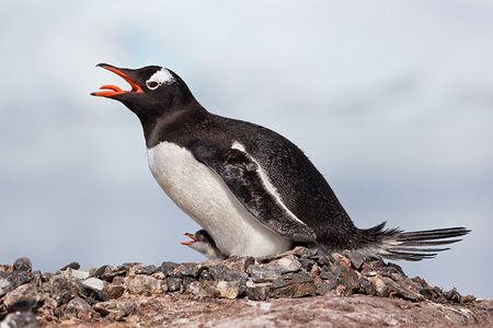gentoo-penguin-with-chick-against-white-mountain-bkgd_e7t2081-petermann-island-antarctica.jpg