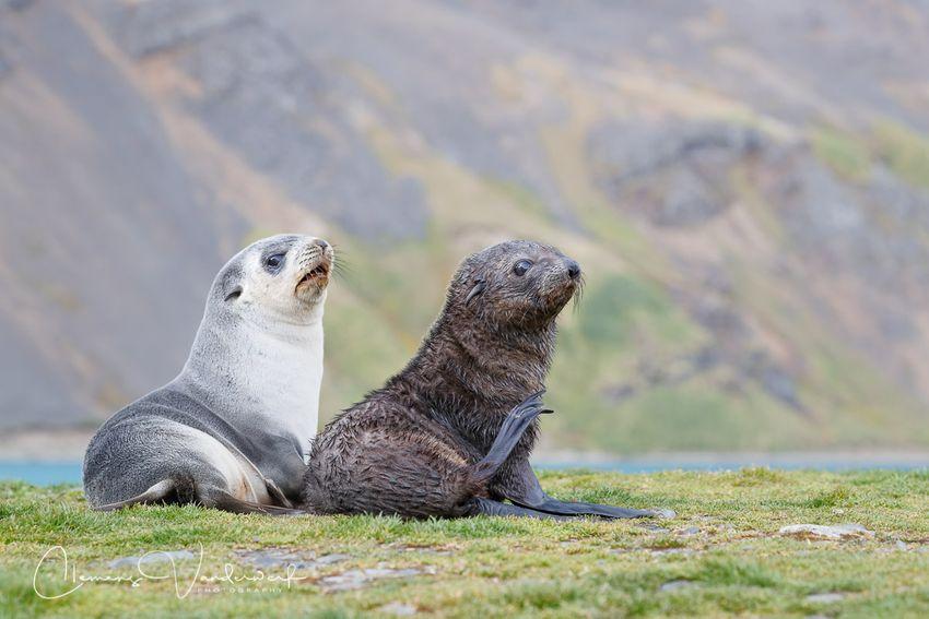 fur-seals-babies-playing_a3i5787-grytviken-south-georgia-islanda.jpg