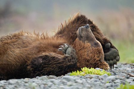 Brown-bear-sleeping-on-its-back_M7E0314-Kubak-Bay,-Katmai-National-Park,-AK.JPG