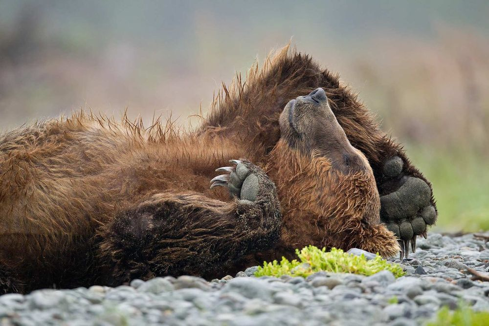 Brown-bear-sleeping-on-its-back_M7E0314-Kubak-Bay,-Katmai-National-Park,-AK.JPG