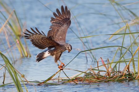 Snail kite lifting apple snail_clean up_44A0340-Lake Kissimmee, FL, USA.jpg