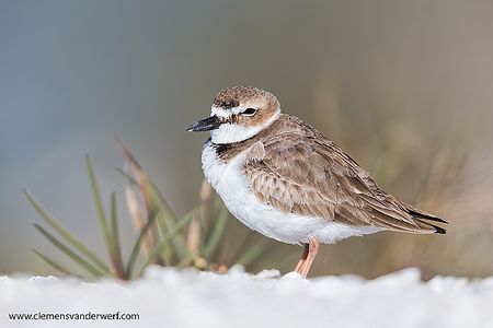 Wilson-plover-with-grass-in-background_E7T1750-Estero-Lagoon-Fort-Myers-Beach-USA.jpg