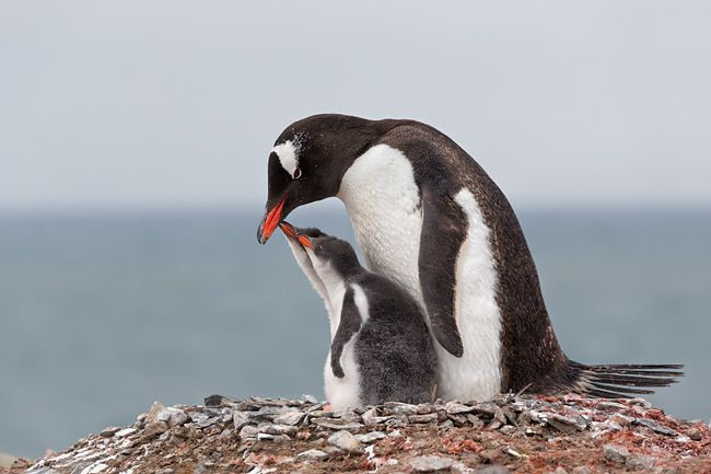Gentoo-Penguin-with-chicks-looking-up-on-nest_E7T6387-Hannah-Point-South-Shetland-Islands-Antarctica.jpg