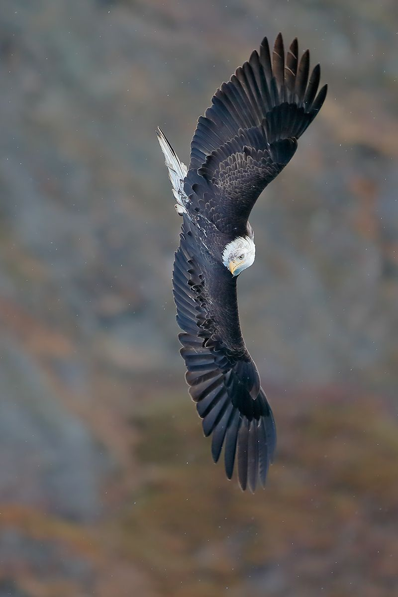 bald-eagle-banking-against-the-rocks_vert_e7t8938-kachemak-bay-homer-alaska-usa.jpg