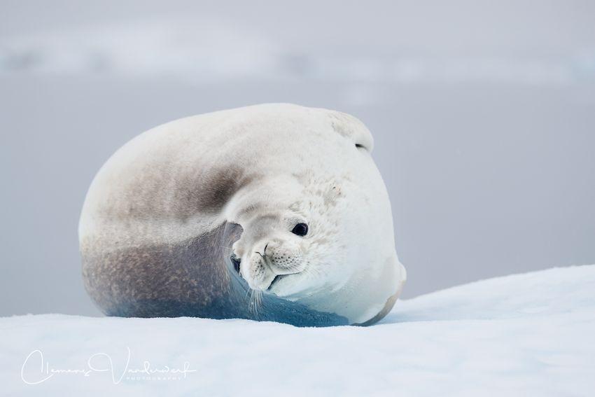 crabeater-seal-looking-at-zodiac_a3i8737-stoney-point-paradise-bay-antarctica.jpg