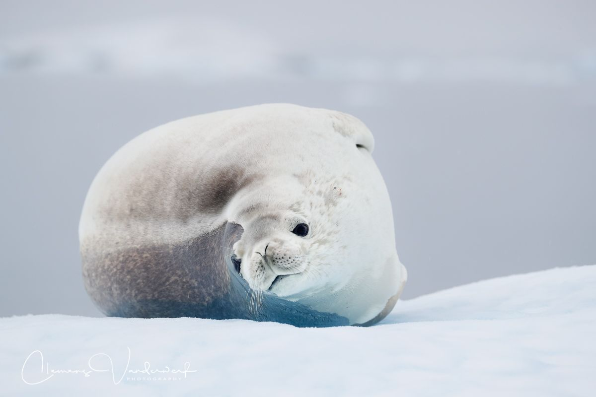 crabeater-seal-looking-at-zodiac_a3i8737-stoney-point-paradise-bay-antarctica.jpg