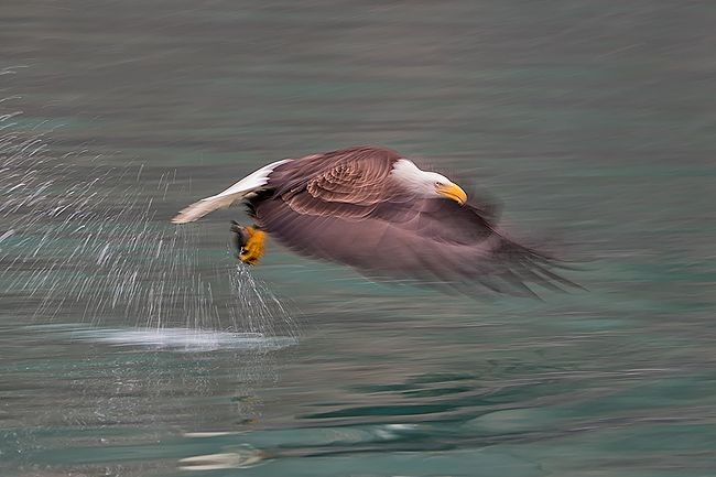 Bald-eagle-with-splash-blur_E7T0655-Kachemak-Bay-Homer-AK.jpg