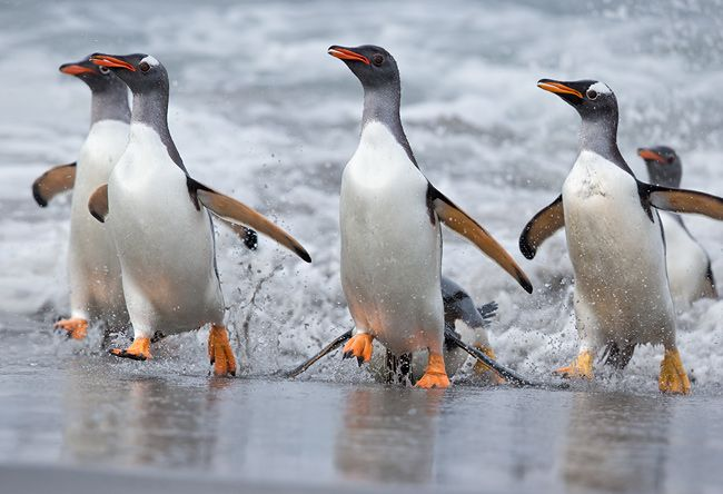 Gentoo-Penguin-group-coming-out-the-water_E7T4344-Sea-Lion-Island-Falkland-Islands.jpg