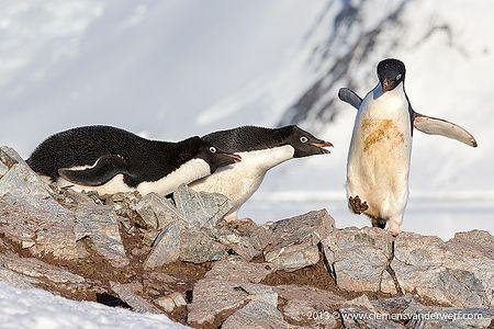 adelie-penguins-on-nest-with-intruder_e7t6969-petermann-island-antarctica.jpg