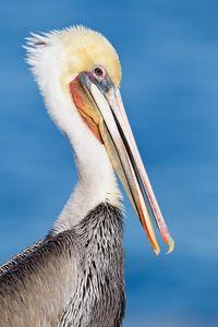 Brown-pelican-with-orange-bill-pouch-La-Jolla-California-USA.jpg