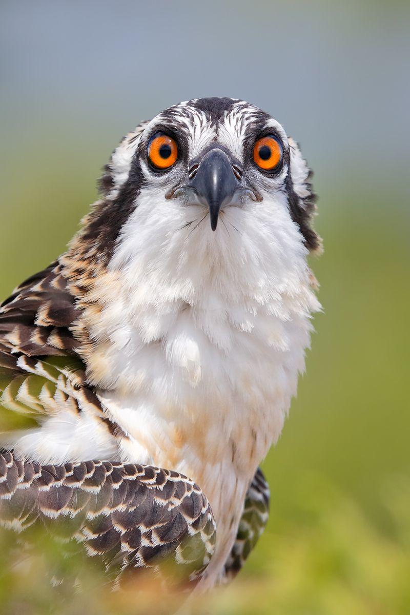 Osprey-chick-head-portrait-looking-down-the-barrel_B8R0587-Lake-Blue-Cypress,-Indian-River-County,-FL,-USA.jpg
