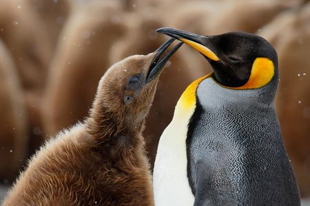 king-penguin-with-begging-check_44a6257-fortuna-bay-south-georgia-islands-southern-ocean.jpg