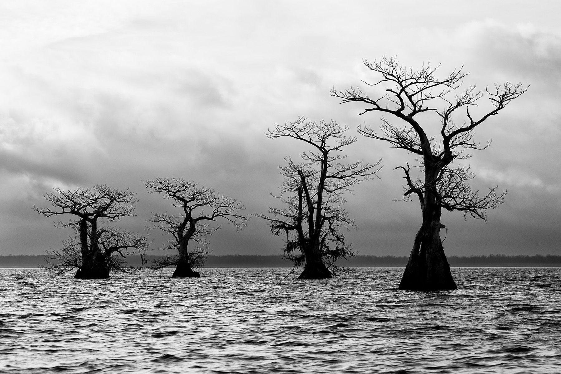 Cypress tree line up in the lake_B&W_A3I2418-Atchafalaya Basin, LA, USA.jpg