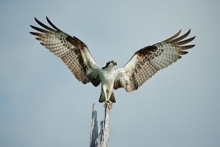 osprey-on-a-tree-with-wings-wide_e7t1353-lake-blue-cypress-fl-usa.jpg