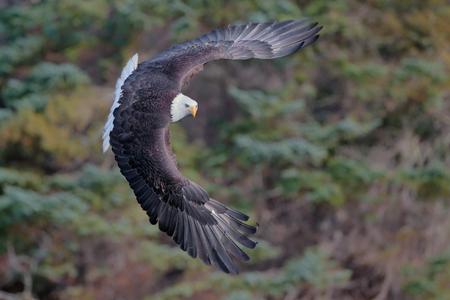 Bald eagle banking infront of trees II_B8R6149-Kachemak Bay, Homer, Alaska, USA.jpg