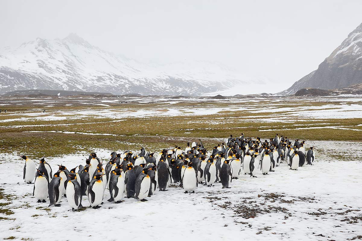 king-penguins-in-the-snow_b8r4696-fortuna-bay-south-georgia-islands-southern-ocean.jpg