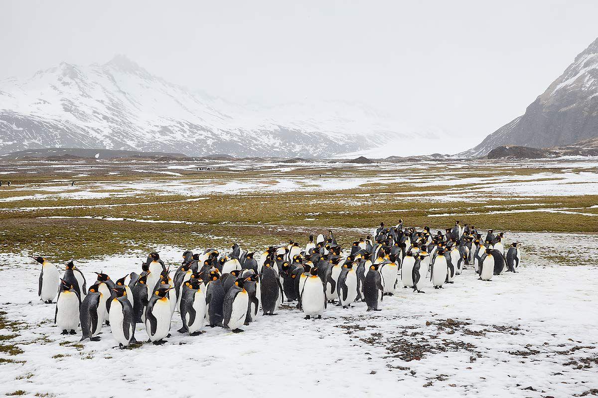 king-penguins-in-the-snow_b8r4696-fortuna-bay-south-georgia-islands-southern-ocean.jpg