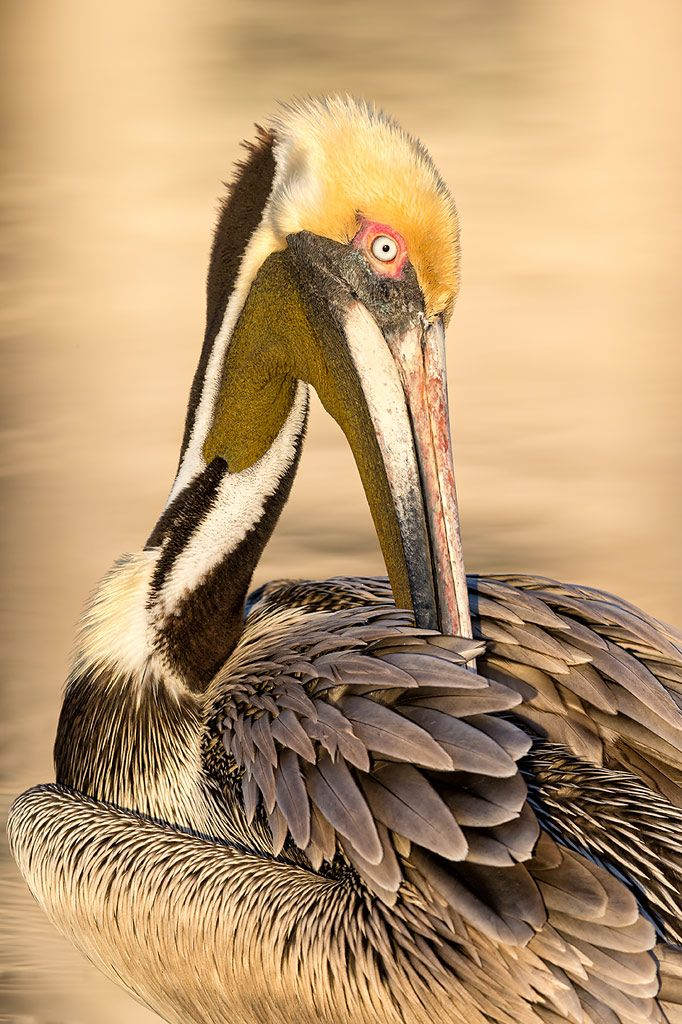 Brown-pelican-preening-with-golden-reflections-_E7T2222-Estero-Lagoon-Fort-Myers-Beach-USA.jpg